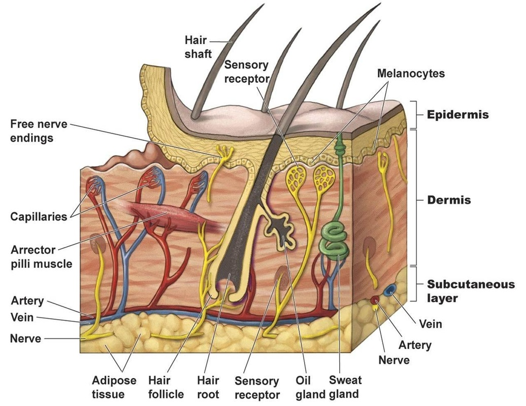 Chapter 6 Skin And The Integumentary System Mr Hamanns Science